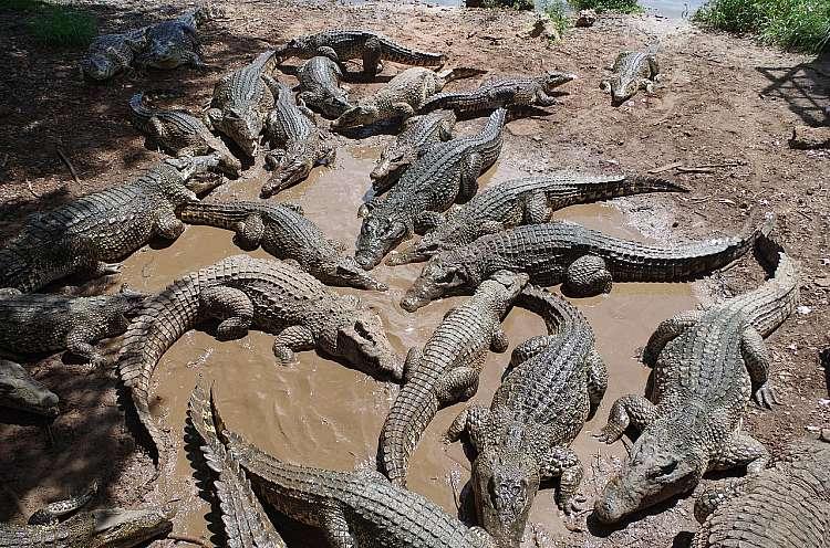Allevamento di coccodrilli