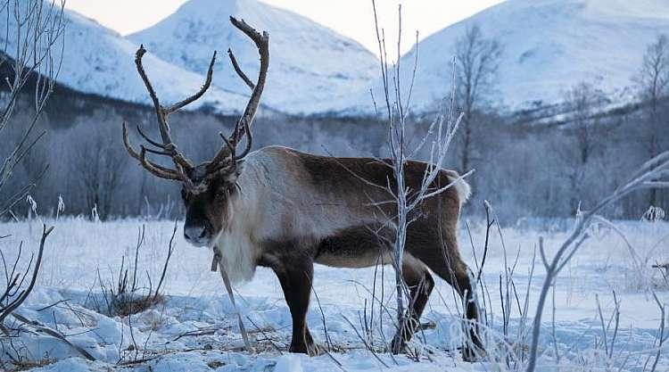 Renne in inverno (Konrad Konieczny_www.nordnorge.com)