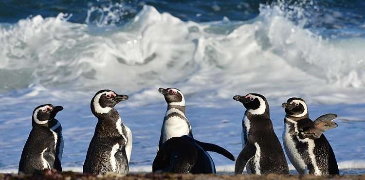 Pinguini Magellano