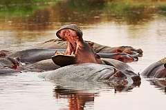 Tanzania del Sud Safari Dell'ippopotamo Parchi Selous E Ruaha